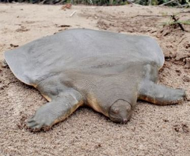 cantorsgiantsoft-shelled-turtle